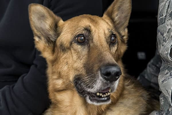 This is what happens to military working dogs after retirement